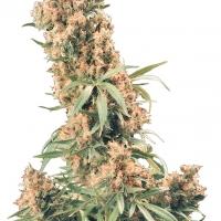 The Pure Regular Cannabis Seeds