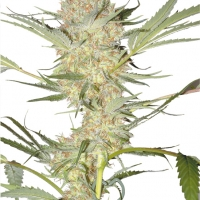 Real McCoy Regular Cannabis Seeds