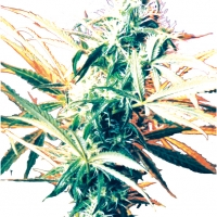 Titan's Haze Regular Cannabis Seeds