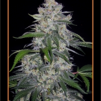 Fantasmo Express Auto Feminised Cannabis Seeds
