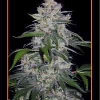 Fantasmo Express Auto Feminised Cannabis Seeds