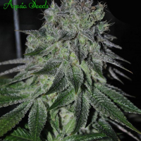 Fast Caramelic Feminised Cannabis Seeds - Anesia Seeds