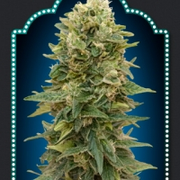 Female Mix Feminised Cannabis Seeds | OO Seeds
