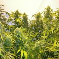 Black Samba Feminised Cannabis Seeds