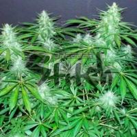 Bubble Hash Feminised Cannabis Seeds