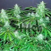 Bubble Hash Feminised Cannabis Seeds