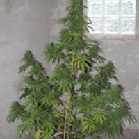 Chaze Feminised Cannabis Seeds