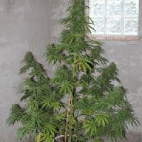 Chaze Feminised Cannabis Seeds