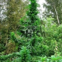 Doctor Shiva Feminised Cannabis Seeds