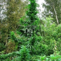 Doctor Shiva Auto Feminised Cannabis Seeds