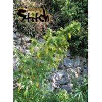 Muay Thai Feminised Cannabis Seeds