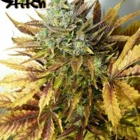 Purple Sirius Kush Feminised Cannabis Seeds