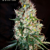 Russian Haze Feminised Cannabis Seeds