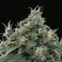 Flow Regular Cannabis Seeds | Sagarmatha Seeds