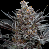 Forbidden Dream Feminised Cannabis Seeds | Humboldt Seeds Organisation