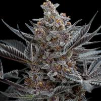 Forbidden Dream Feminised Cannabis Seeds | Humboldt Seeds Organisation