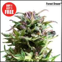 Forest Dream Feminised Cannabis Seeds | Dutch Passion