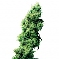 Four Way Regular Cannabis Seeds | Sensi Seeds