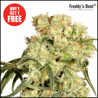 Freddy's Best Feminised Cannabis Seeds | Dutch Passion