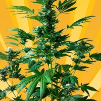 Big Domina Auto Feminised Cannabis Seeds