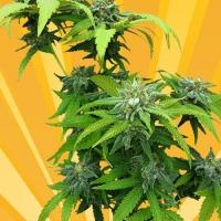 Stilton Breath Feminised Cannabis Seeds