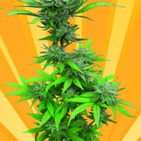 Crystal Dwarf Auto Regular Cannabis Seeds