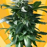 Diesel Devil Auto Feminised Cannabis Seeds