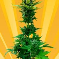 White Goblin Auto Feminised Cannabis Seeds