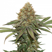 Fruit Cake Feminised Cannabis Seeds | Seed Stockers