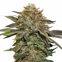 Fruit Cake Auto Feminised Cannabis Seeds | Seed Stockers