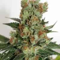 Fuel OG Feminised Cannabis Seeds