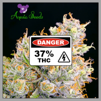 Future #1 Feminised Cannabis Seeds - Anesia Seeds