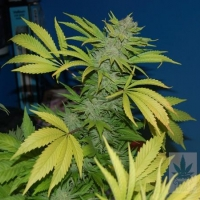 G13 x Skunk Regular Cannabis Seeds | Mr Nice Seeds