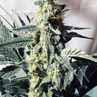G13 x Widow Regular Cannabis Seeds | Mr Nice Seeds