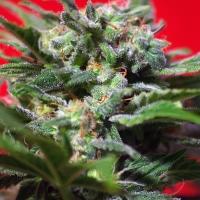 Ganesh Spirit Feminised Cannabis Seeds | Sweet Seeds