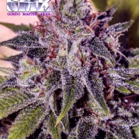 GMK (Gordo Master Kush) Feminised Cannabis Seeds | Positronics