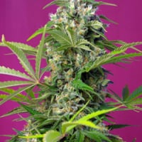 Gorilla Girl Feminised Cannabis Seeds | Sweet Seeds