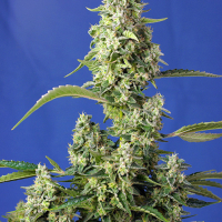 Gorilla Girl XL Auto Feminised Cannabis Seeds | Sweet Seeds