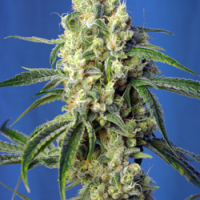 Green Poison CBD Feminised Cannabis Seeds | Sweet Seeds