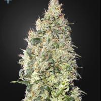 Great White Shark CBD Feminised Cannabis Seeds | Green House Seeds