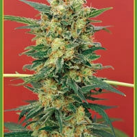 Ganesh Regular Cannabis Seeds