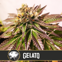 Gelato Feminised Cannabis Seeds | Blim Burn America
