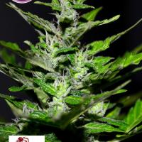 Gelato Feminised Cannabis Seeds | Kera Seeds