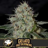 Gelato Fast Feminised Cannabis Seeds | Blimburn Seeds