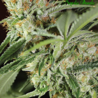 Ghost Train Haze #1 Feminised Cannabis Seeds - Anesia Seeds