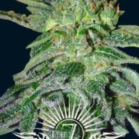 Gigantes Auto Feminised Cannabis Seeds | 7 Dwarf Seeds