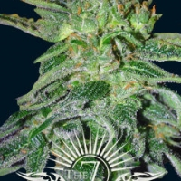 Gigantes Auto Feminised Cannabis Seeds | 7 Dwarf Seeds