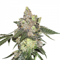 Girl Scout Cookies Feminised Cannabis Seeds   Seed Stockers