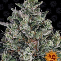 Glookies Feminised Cannabis Seeds | Barney's Farm