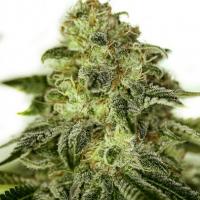 Glory OG Feminised Cannabis Seeds | Positronics